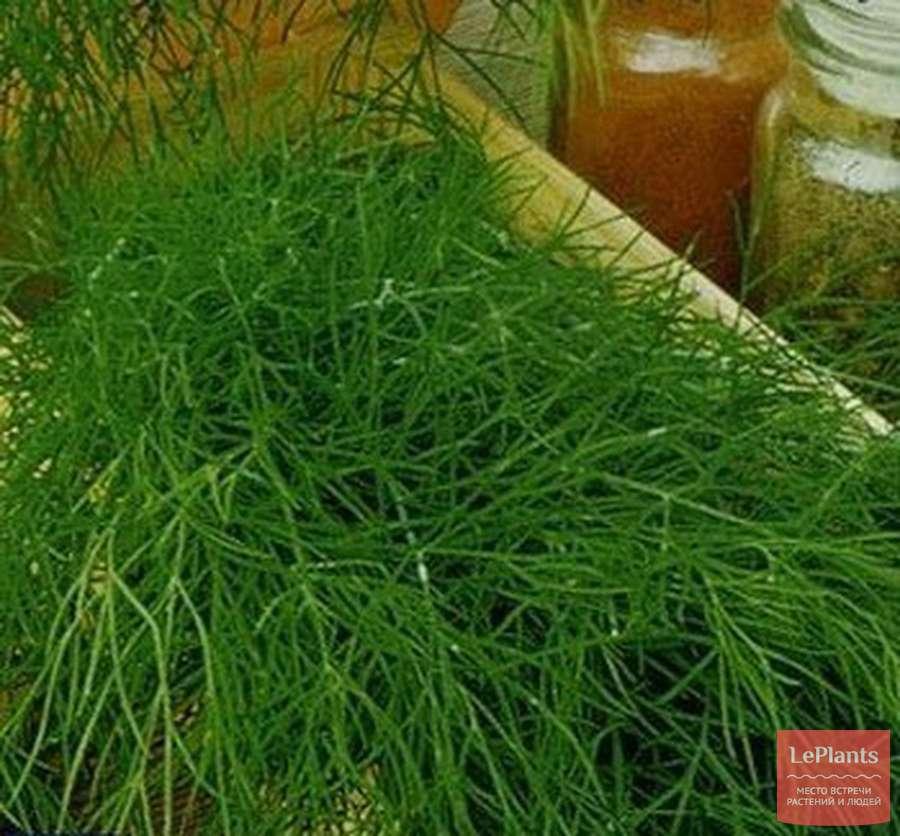 Особенности выращивания на зелень укропа кустового, описание его сортов и сбор урожая