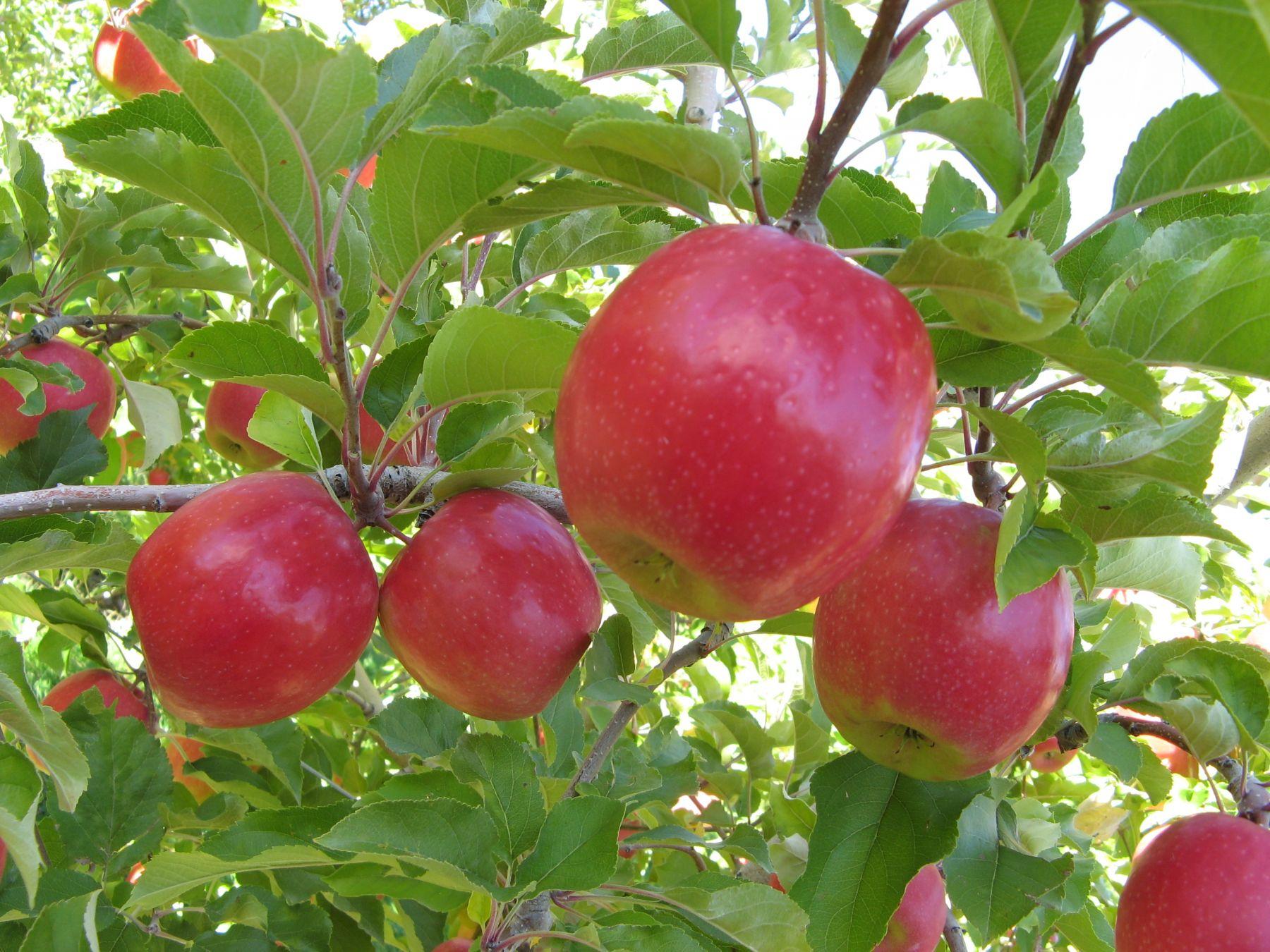 Яблоня титовка: особенности сорта и ухода