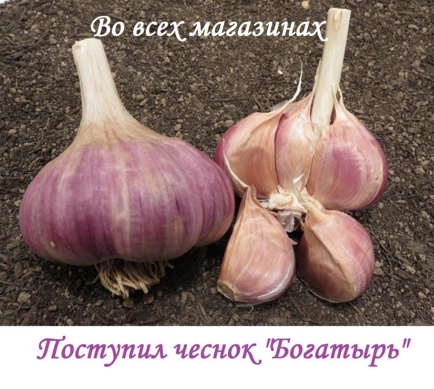 Чеснок озимый скиф: описание и характеристика сорта, выращивание с фото
