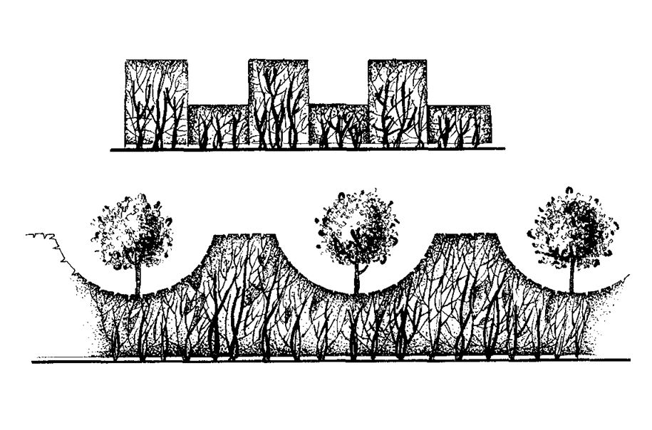 Живая изгородь из кизильника блестящего: посадка, правила ухода и стрижка - 11 фото