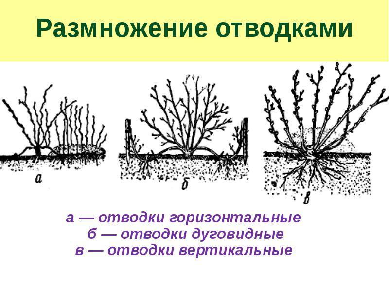 Как размножить крыжовник: эффективные способы | заготовки на зиму