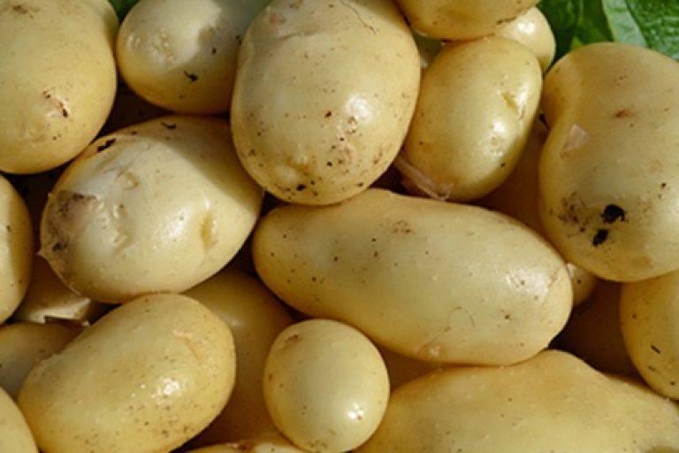 Картофель импала – ранний сорт картофеля, посадка и выращивание