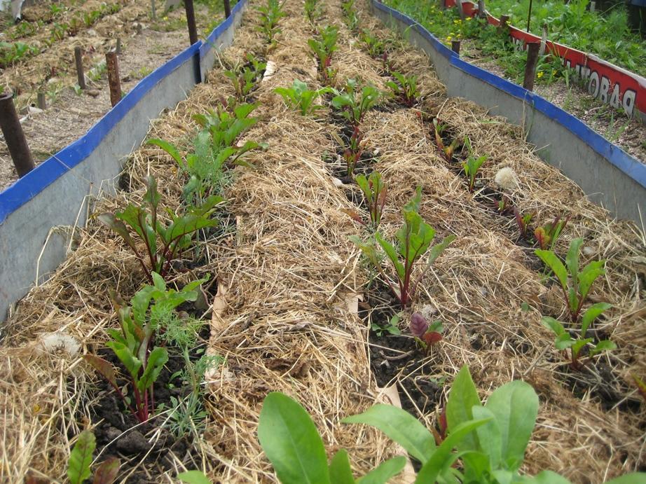 Мульчирование картофеля: как правильно и чем делать, посадка под мульчу из скошенной травы