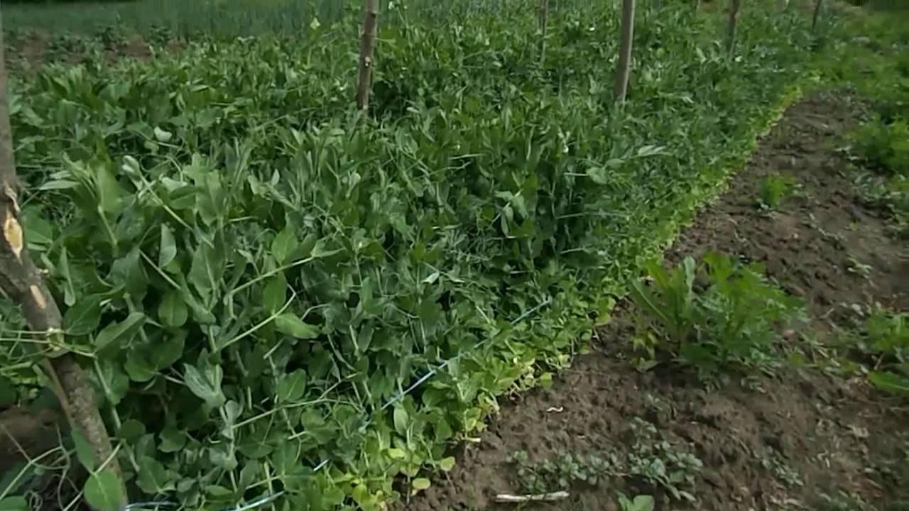 Как подвязать горох в открытом грунте на грядке - блог фермера