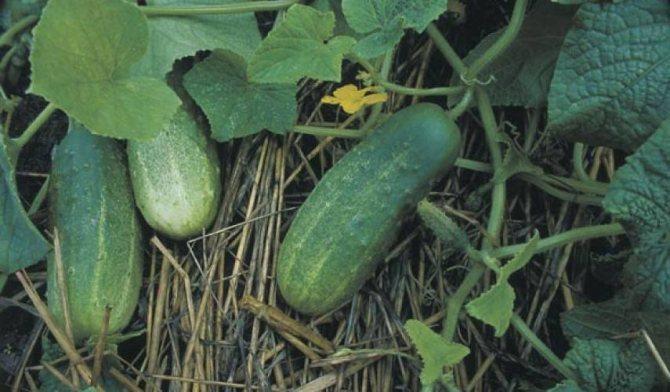 Огурец барабулька: описание, выращивание, уход, фото