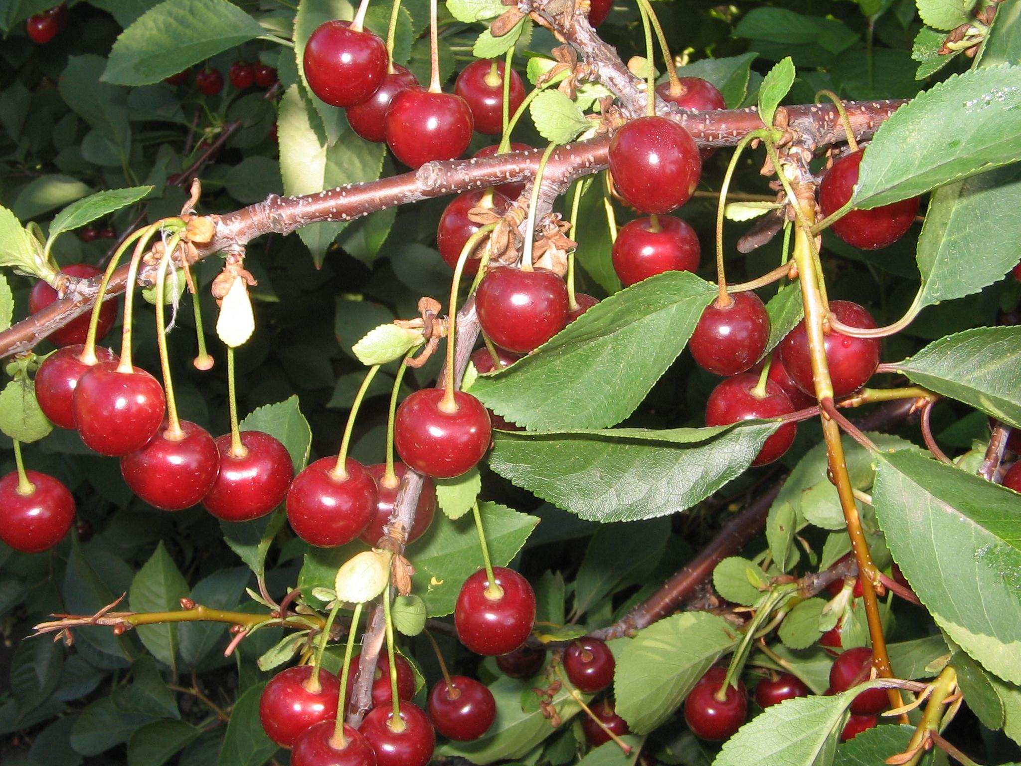 Описание сортов вишни для сибири и урала: наши советы садоводам этих регионов