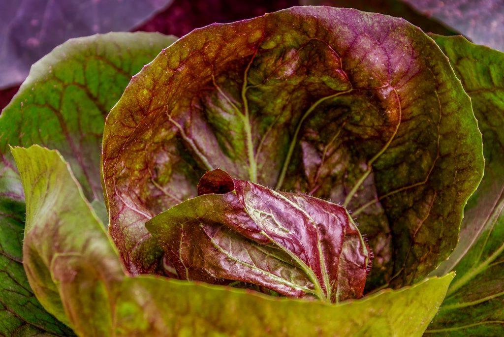 Что делать если у капусты фиолетовые листья?