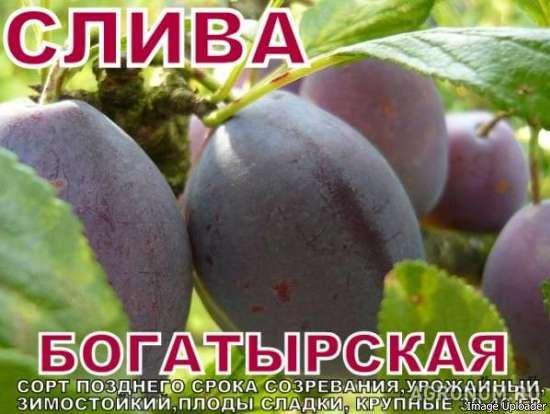 ᐉ слива богатырская описание сорта фото и отзывы - zooshop-76.ru