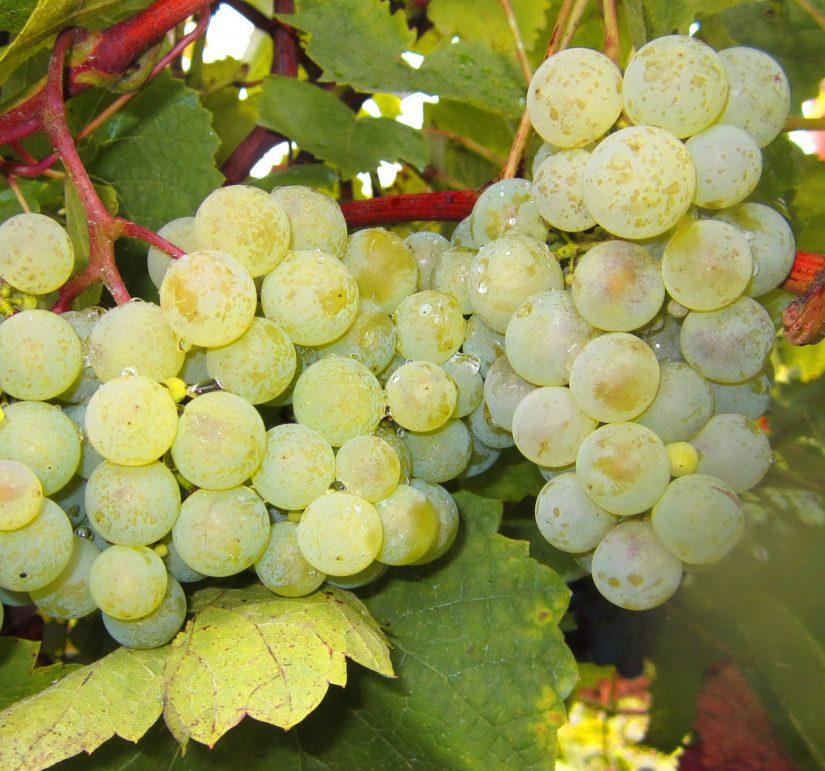 Выращивание винограда рислинг