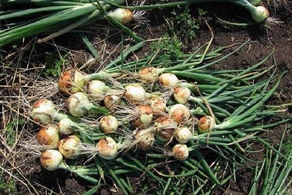 Как вырастить зеленый лук в воде на подоконнике