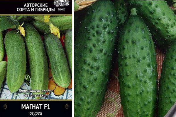 Описание сорта огурцов Магнат f1, способы выращивания и уход