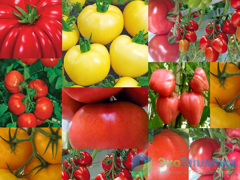 Лучшие сорта томатов для подмосковья, устойчивые к фитофторе