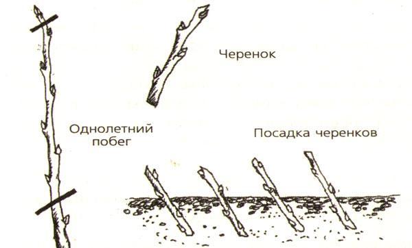 Как выращивать и размножить сливы у cебя на даче: посадка, уход, размножение