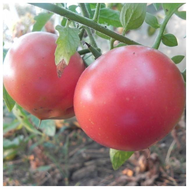 Неприхотливый в уходе, но при этом щедрый на урожай томат «чайная роза»: агротехника и советы фермеров со стажем