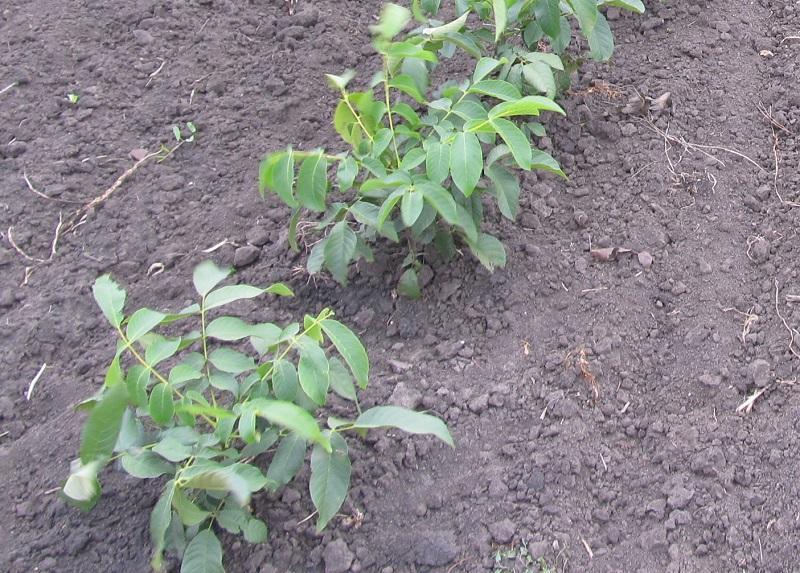 Прививка грецкого ореха зимой и летом