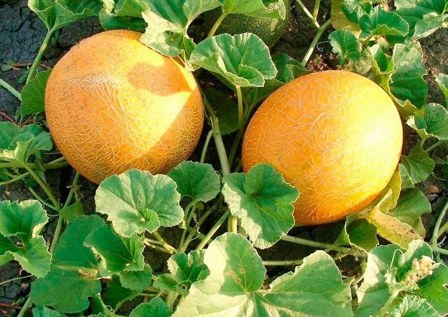 Дыня — секреты выращивания, хранения и потребления. посев, уход в открытом грунте и теплице, лучшие сорта. фото — ботаничка.ru