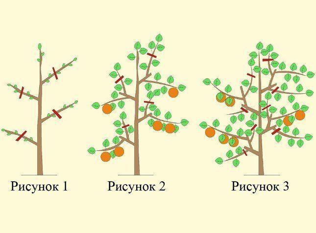 Как сформировать крону колоновидной яблони, на видео формирование и подрезка