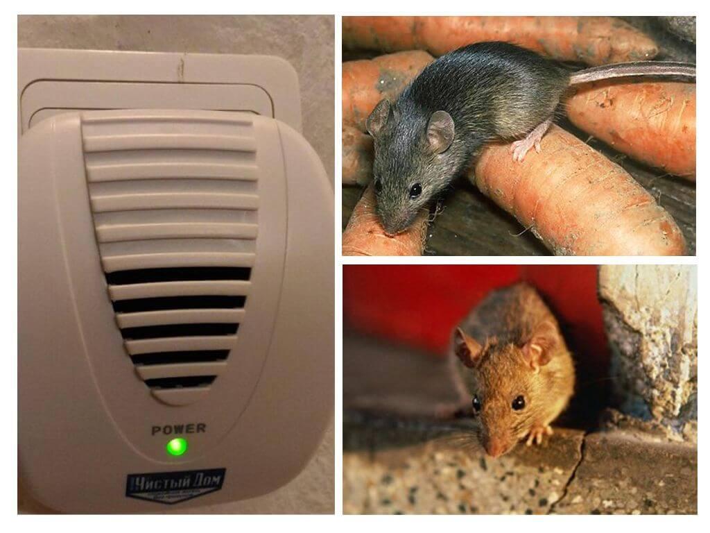 Крысы едят мышей: реальность или миф?
