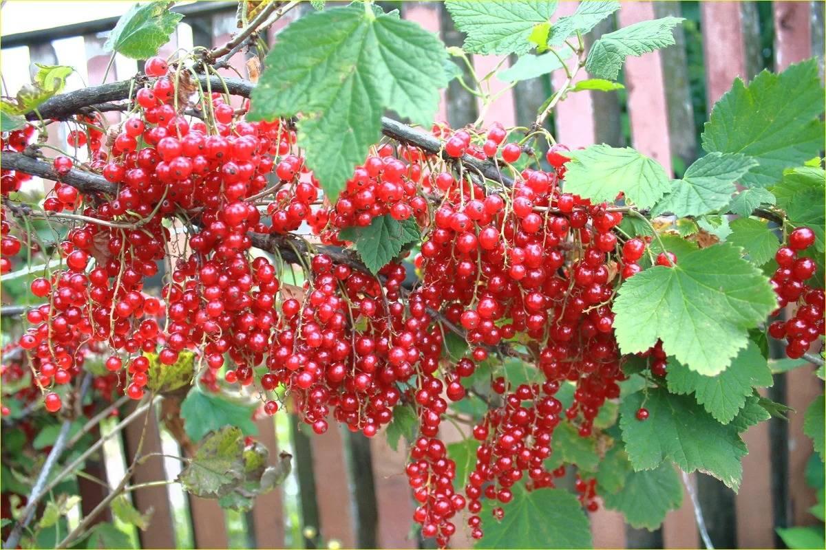 Смородина красная джонкер ван тетс: описание сорта, выращивание и уход с фото