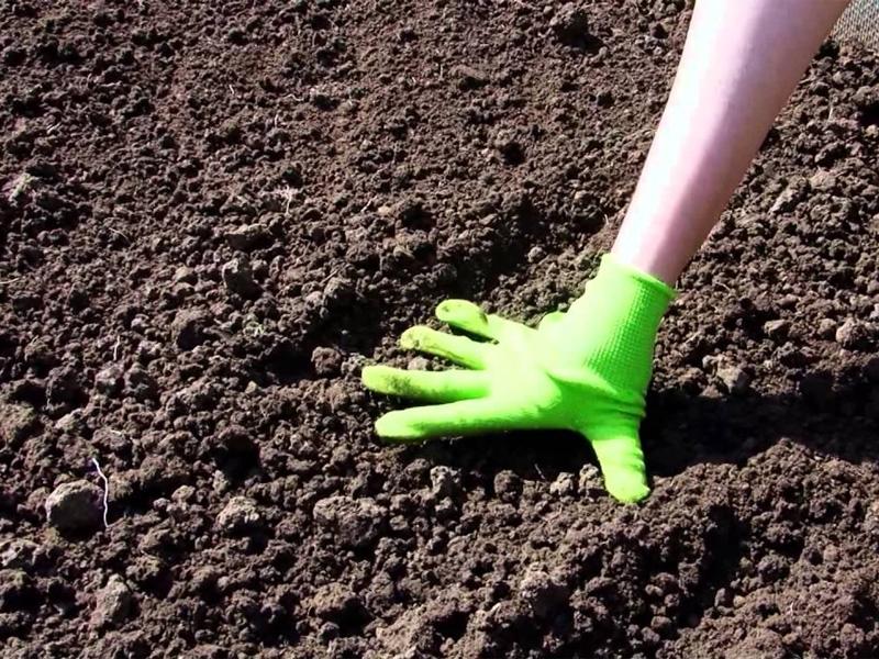 Как сажать свеклу семенами в открытый грунт: когда это правильно делать, можно ли в августе, в июле, под зиму или лучше весной, как вырастить на грядке, сроки и уход