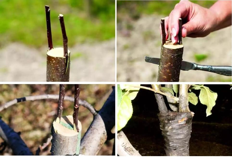 Прививка винограда (весной, летом и в другое время): как это сделать, сроки, как привить на старый куст, видео