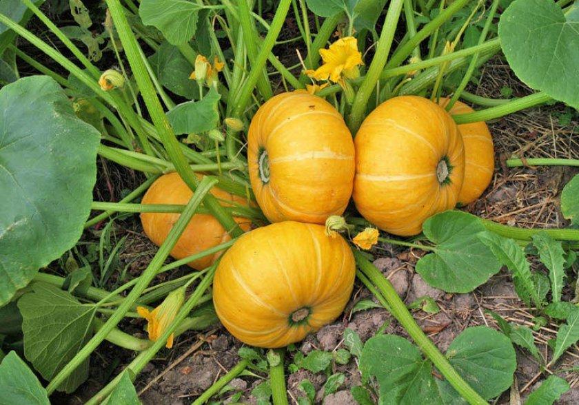 Выращивание тыквы крупноплодной — правила посадки, размножения и ухода