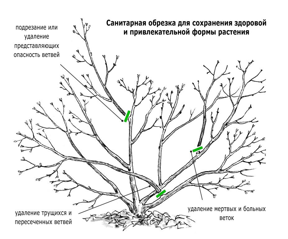 Как ухаживать за вишней весной: наши советы садоводам