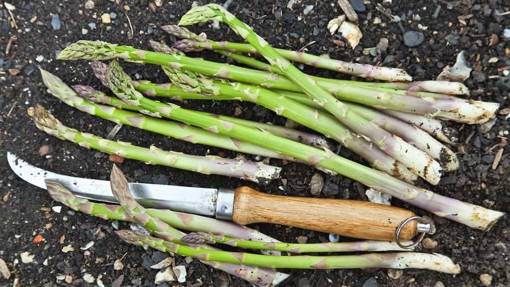 Как растет спаржа: основные правила выращивания и ухода