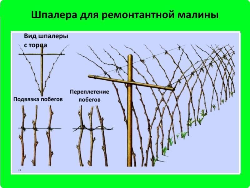 Посадка ежевики, в том числе весной , а также особенности в сибири, украине, ленинградской области, подмосковье и других регионах