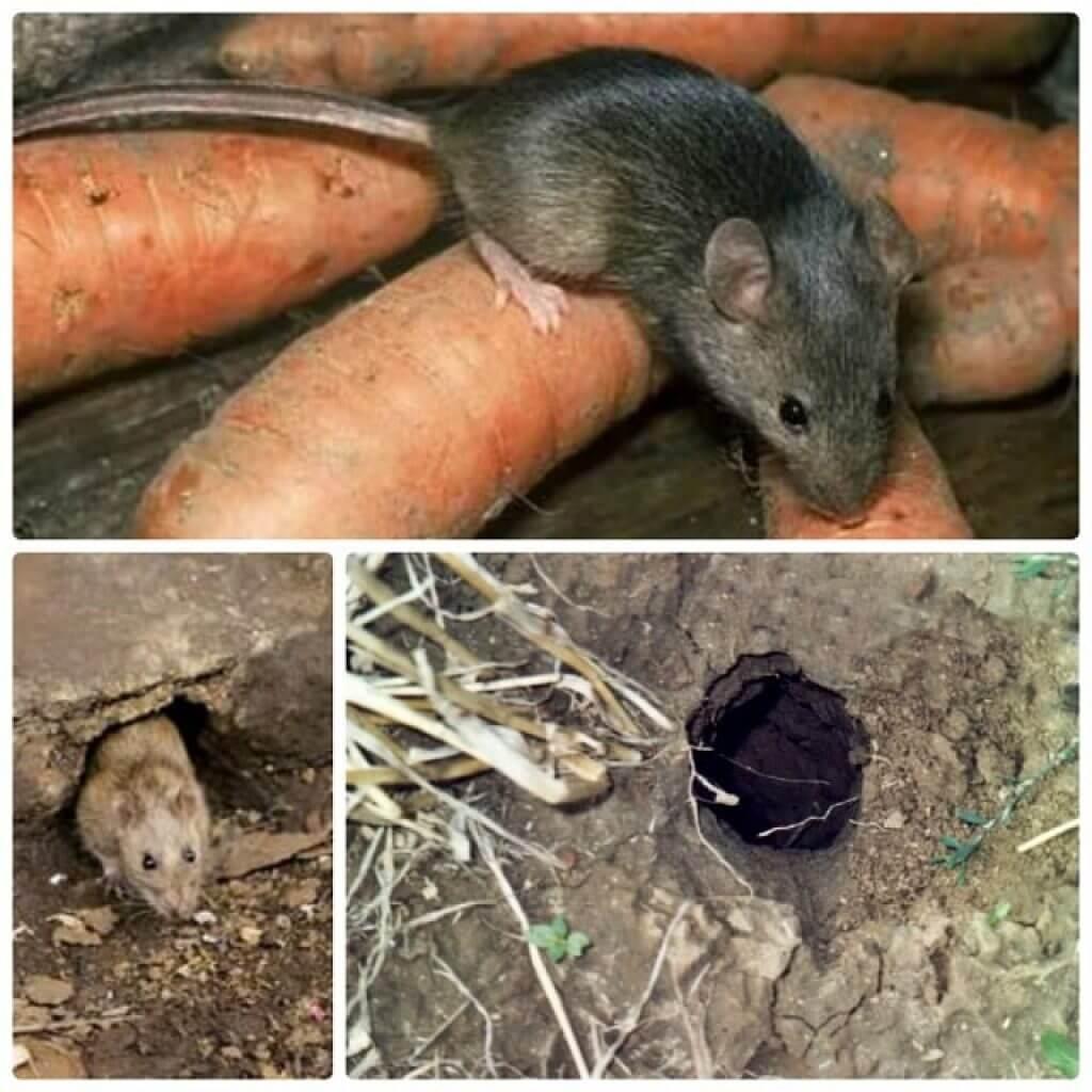 Борьба с мышами в доме и на дачном участке. грызуны, крысы, мыши. фото — ботаничка.ru