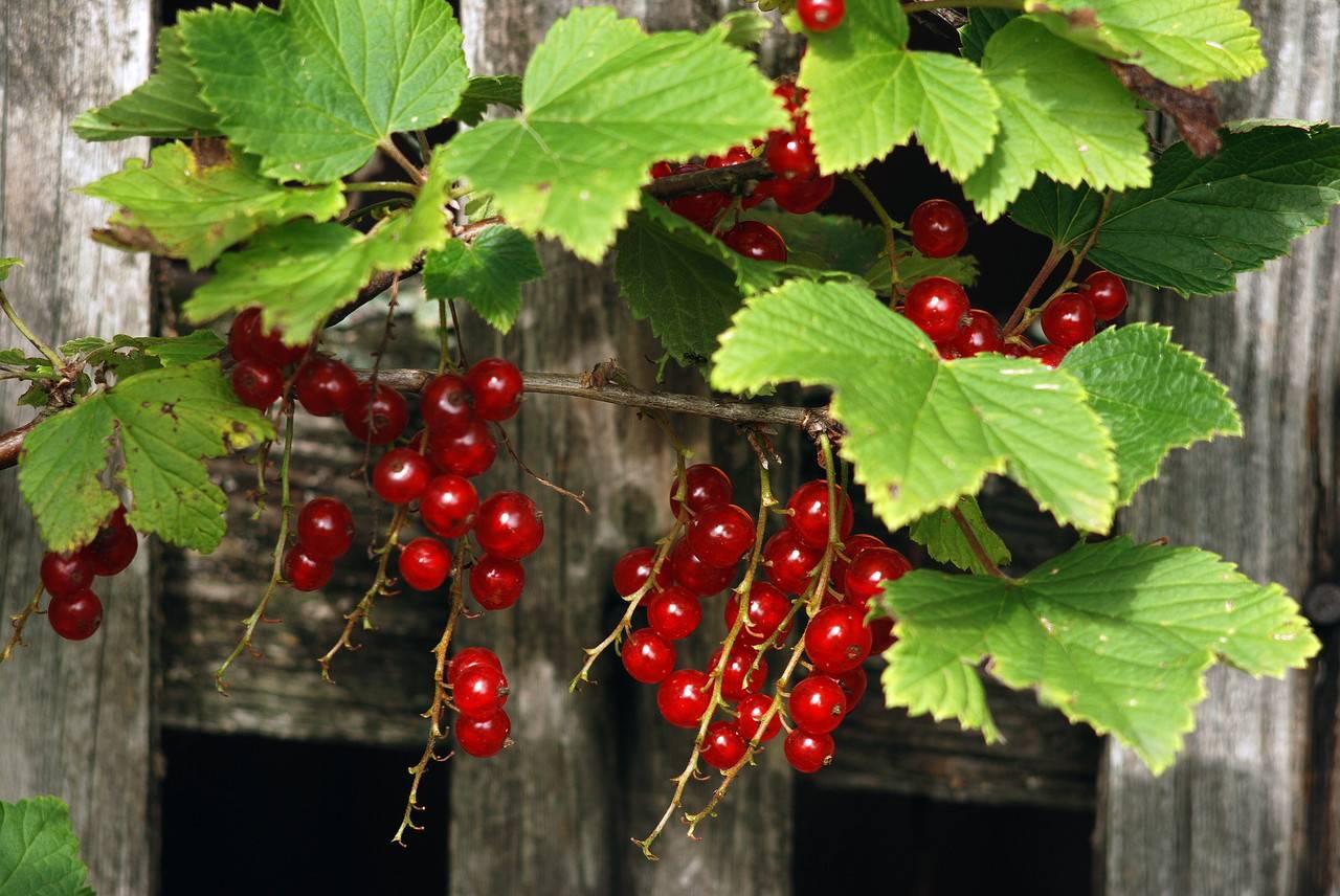 Красная смородина натали: описание сорта и характеристики, посадка и уход с фото