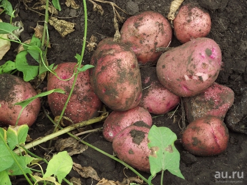 Картофель журавинка – описание сорта, фото, отзывы