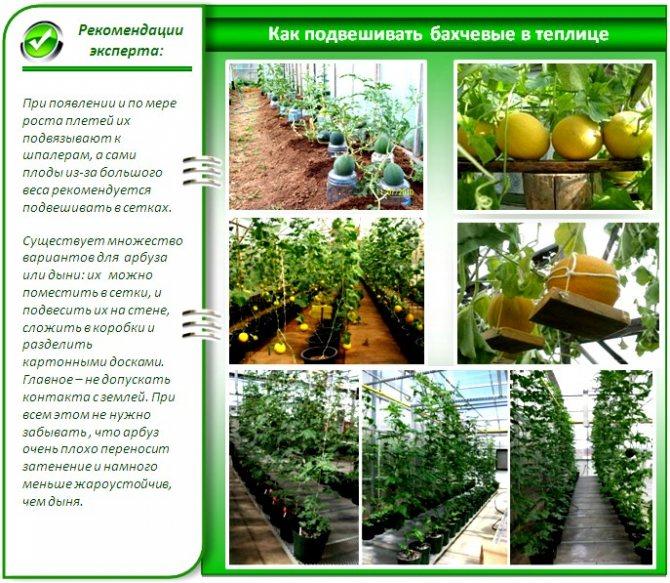 Выращивание дыни в теплице, в том числе как правильно ухаживать за растениями, а также особенности в подмосковье, беларуси, на урале и в других регионах