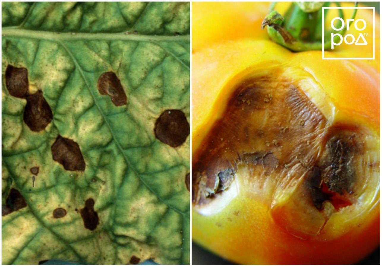 Альтернариоз томата (сухая пятнистость) — причины, симптомы и меры защиты