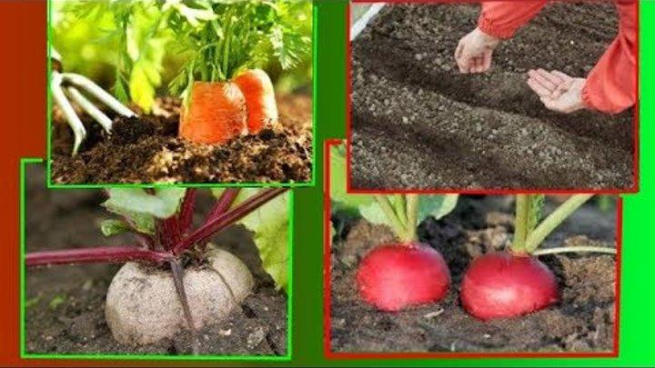 Сроки посева свеклы. как правильно сажать овощ?