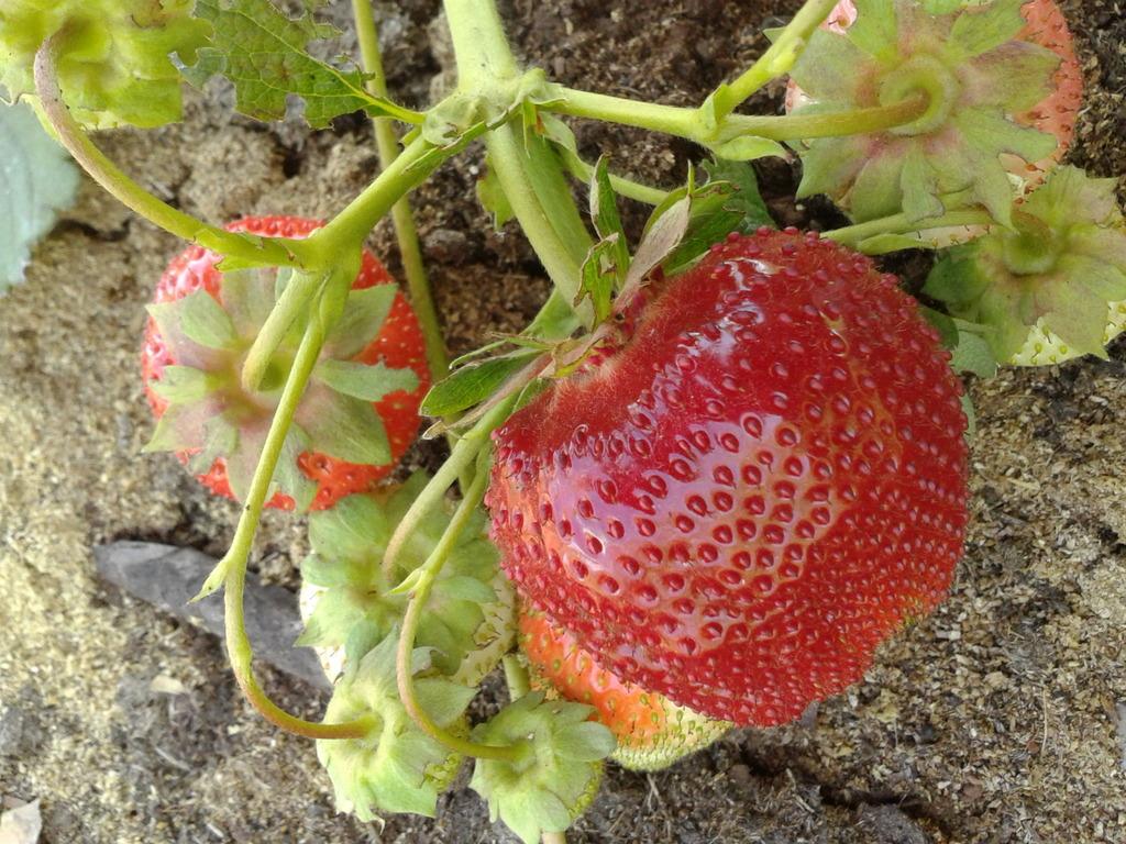 Описание и характеристики клубники вима ксима, выращивание и размножение