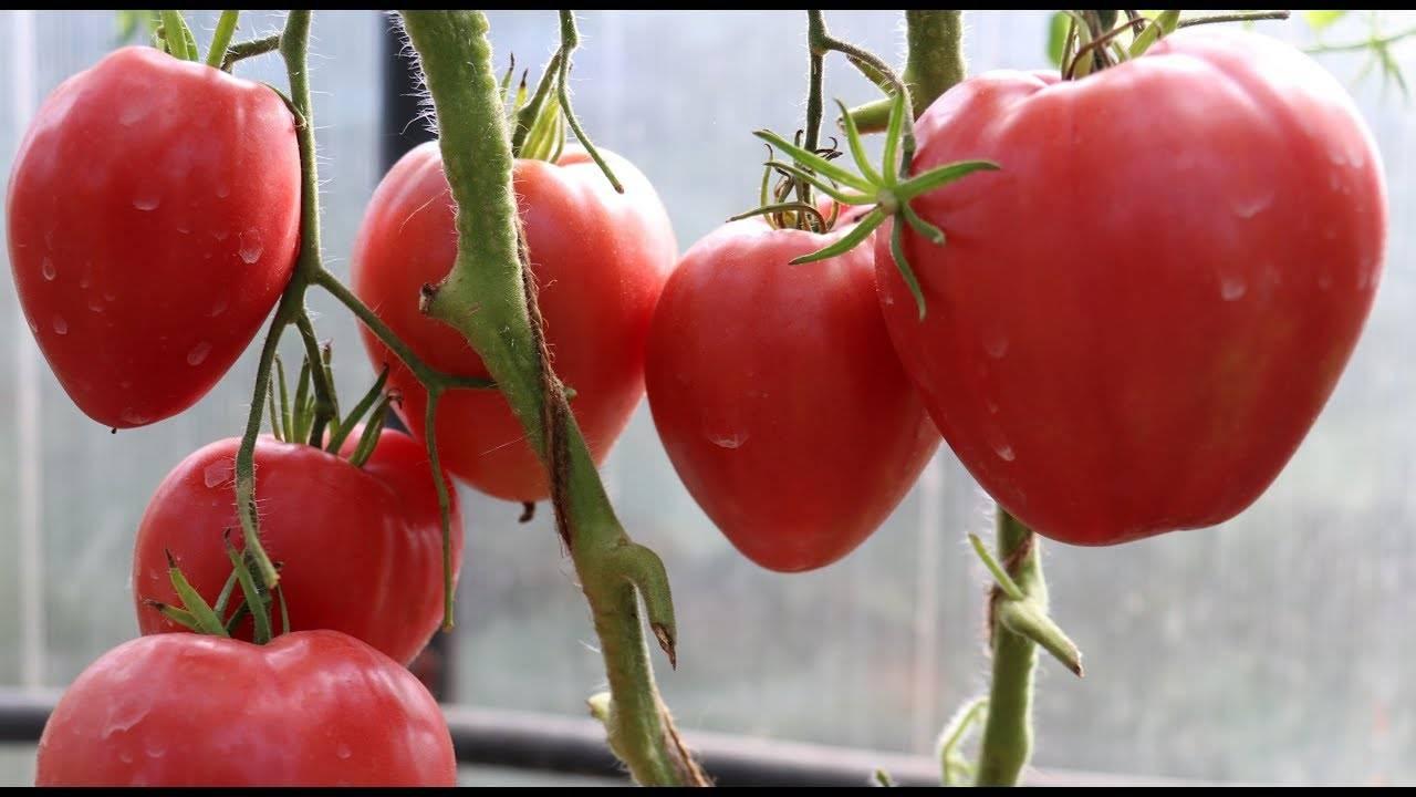 Секреты и особенности выращивания сочных крупноплодных томатов сорта мазарини
