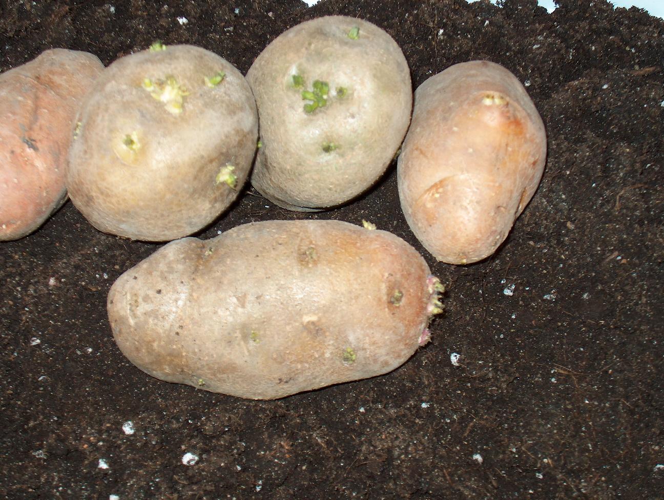 Картофель: виды, где лучше сажать, процесс выращивания + 84 фото
