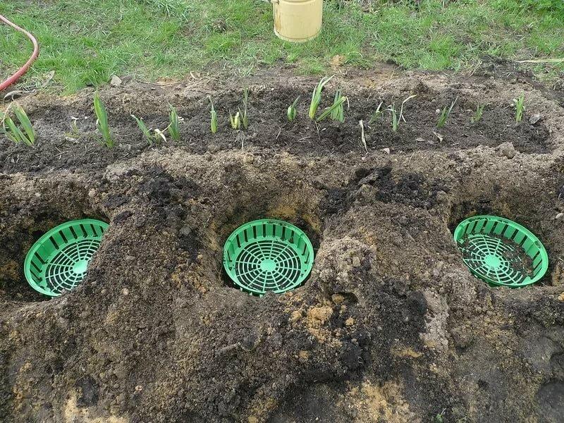 Технология выгонки тюльпанов к 8 марту в домашних условиях: сроки и правила посадки луковиц