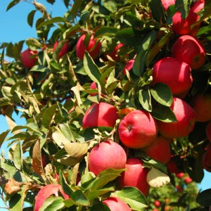 О яблоне благая весть: описание и характеристики сорта, посадка и уход