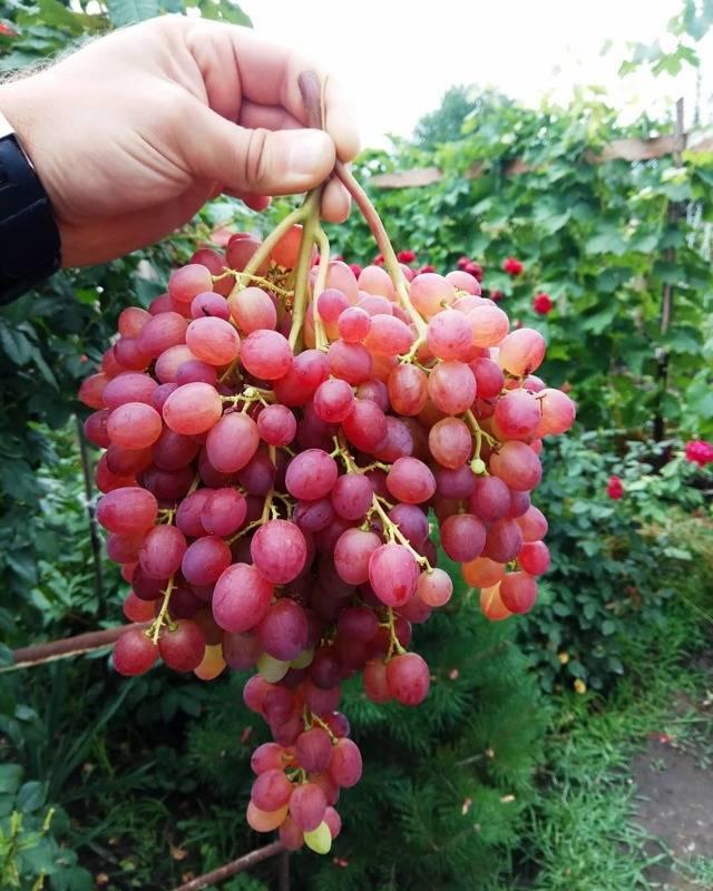 Описание винограда сорта русбол: характеристики, фото, отзывы садоводов