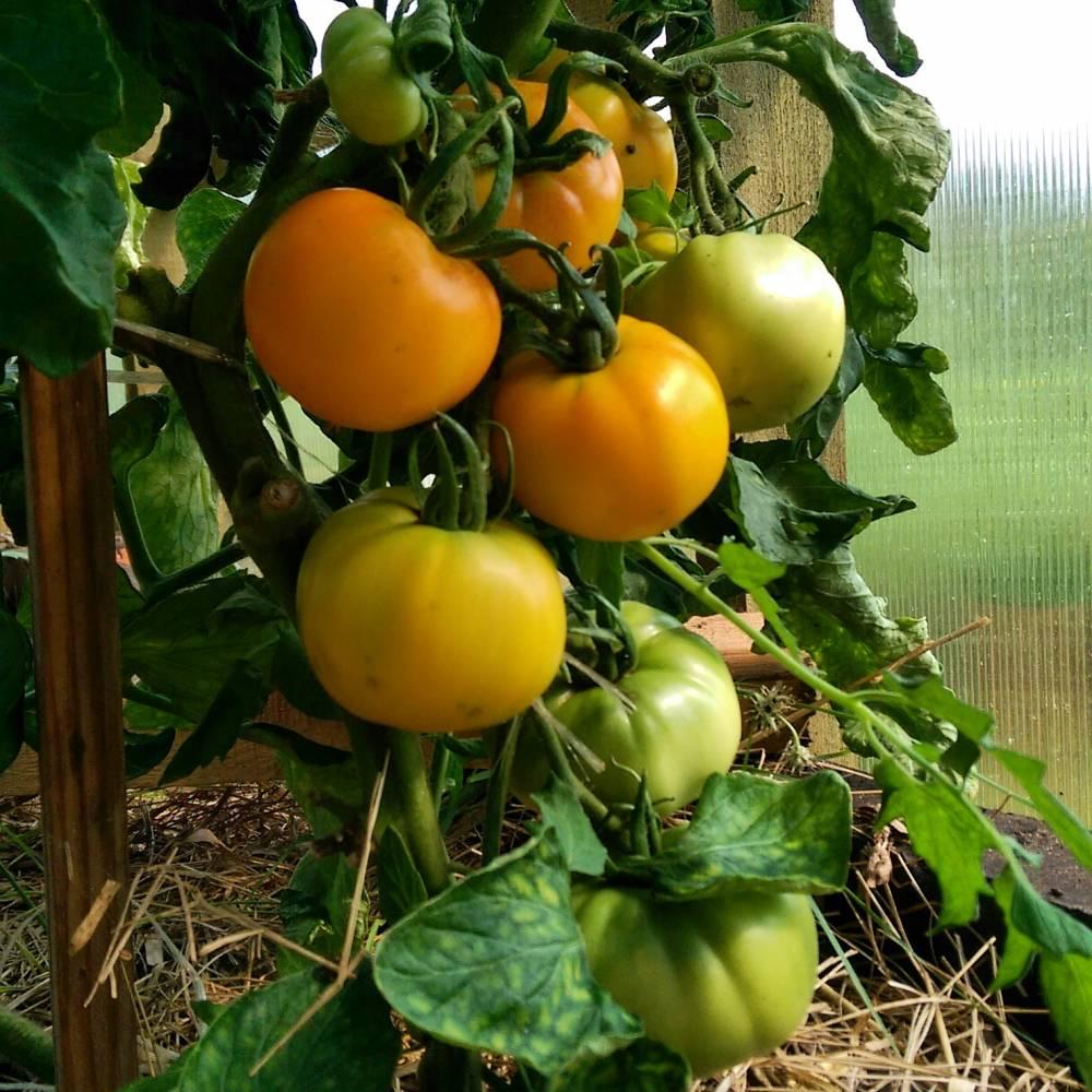 """Томат """"хурма"""": характеристика и описание сорта, урожайность, отзывы"""