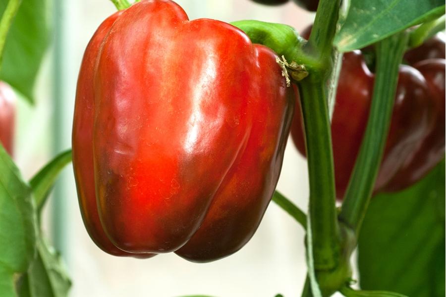 Лучший представитель сладких и сочных сортов — перец фламенко f1: описание и характеристика