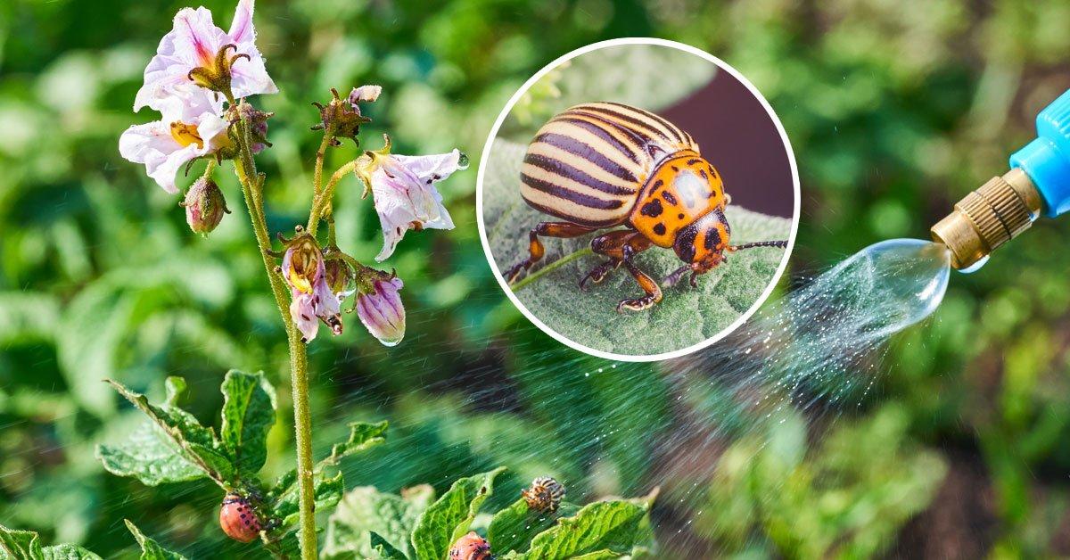 Способы борьбы с колорадским жуком: химические препараты и народные средства