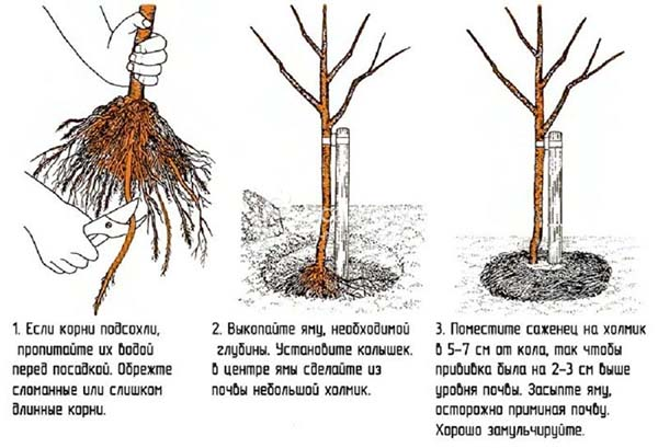 Как пересадить взрослую яблоню на новое место