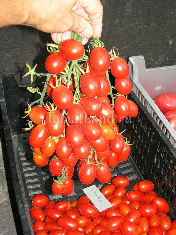 Маленький и сладкий томат «финик красный f1»: описание сорта