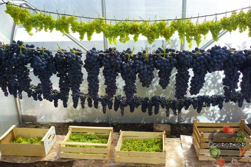 Как хранить виноград в домашних условиях: сроки в холодильнике