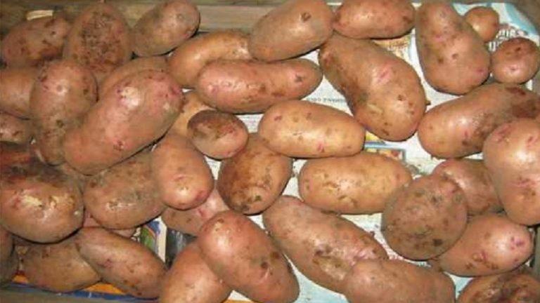 Ранний картофель — сорокодневка