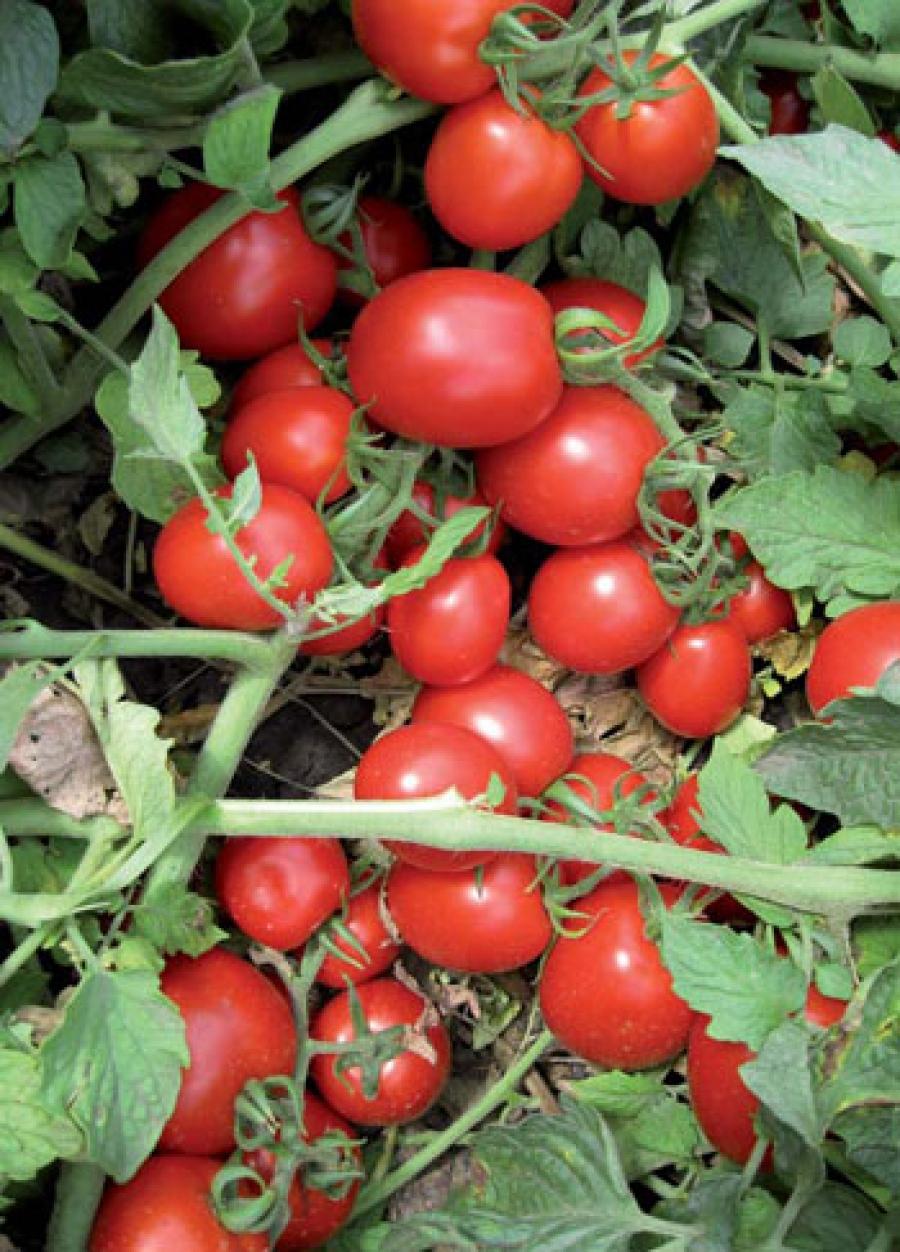 Томат солероссо f1 (50 фото): описание помидоров, отзывы, видео