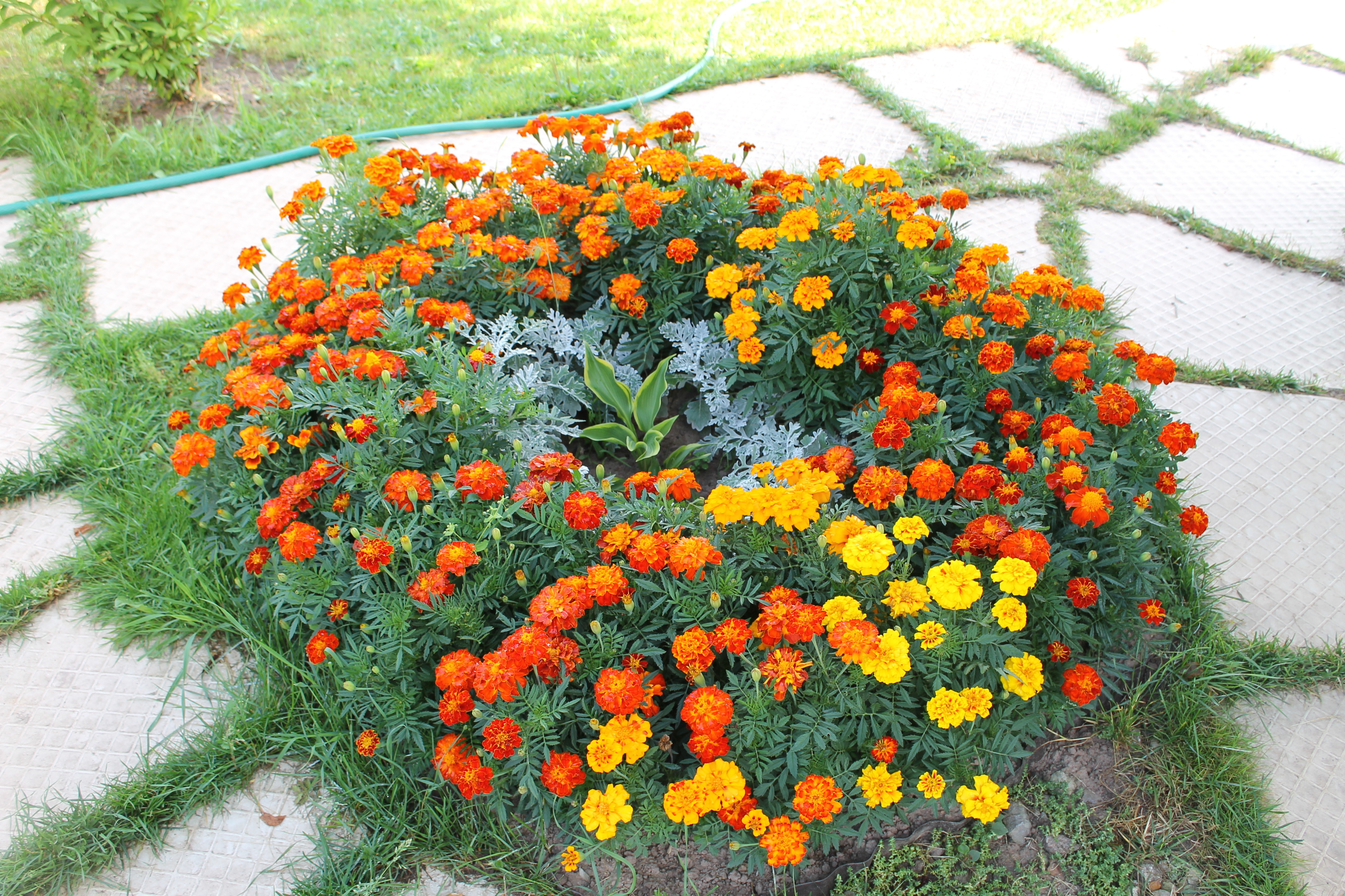 Как посадить бархатцы. идеи клумбы из бархатцев и секреты посадки на рассаду. | красивый дом и сад